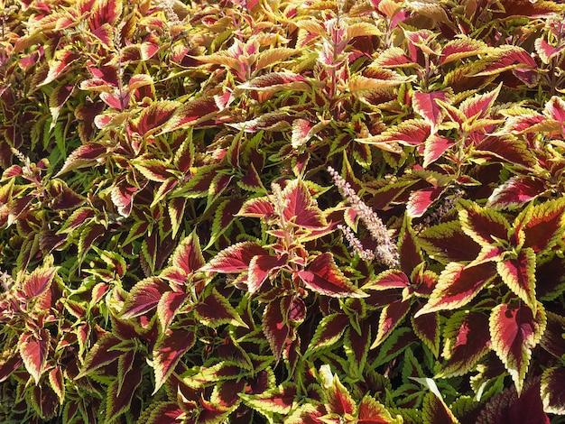Roślina coleus (malowana pokrzywa)