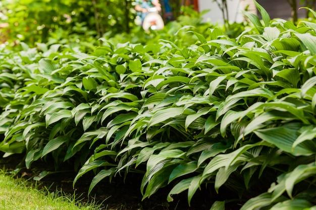 Roślina domowa. hosta w ogrodzie. roślina gospodarza w parku