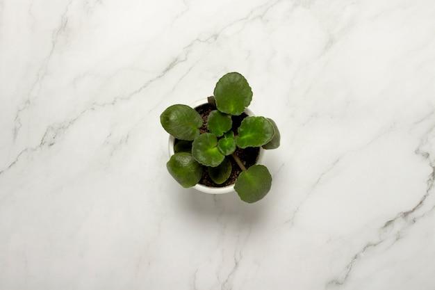 Roślina domowa, kwiat na marmurowej powierzchni. wystrój koncepcyjny, kwiaciarstwo, hobby. leżał płasko, widok z góry
