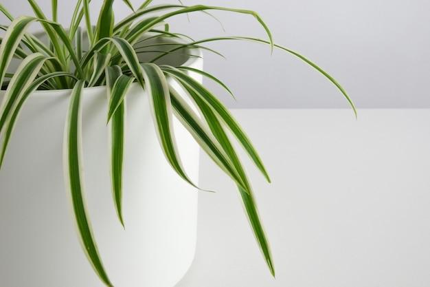 Roślina domowa w białej doniczce roślina pająk chlorofil dom minimalistyczny ogród