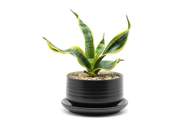 Roślina domowa. wąż roślina w czarnej ceramicznej roślinie doniczkowej na białym tle.