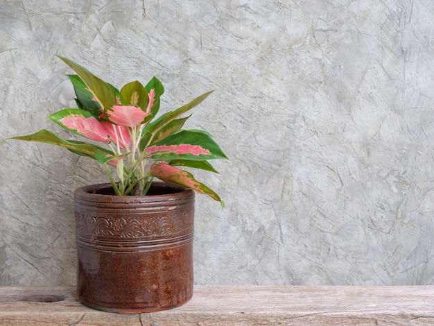 Roślina doniczkowa aglaonema chińska evergreen w pojemniku vintage na drewnianej półce