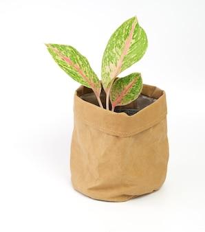 Roślina doniczkowa aglaonema (chiński evergreen) w pojemniku z brązowego papieru z recyklingu na białym tle