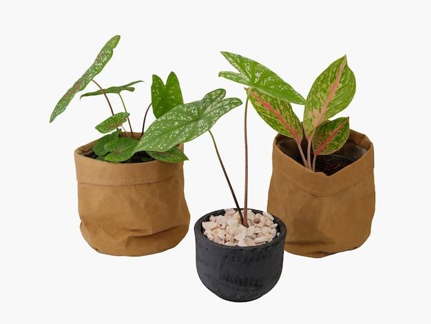 Roślina doniczkowa aglaonema lub chiński evergreen i caladium bicolor vent w makulaturowym brązowym papierze na białym tle ze ścieżką przycinającą