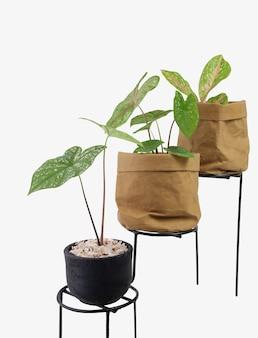 Roślina doniczkowa aglaonema lub chiński evergreen i caladium bicolor vent w pojemniku z recyklingu brązowego papieru na metalowym stojaku na doniczki na białym tle ze ścieżką przycinającą