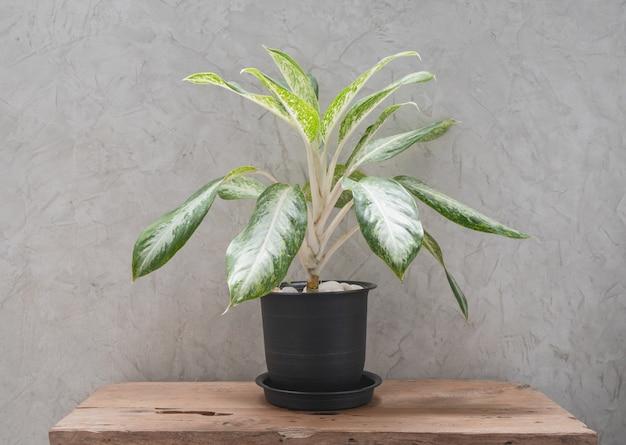 Roślina doniczkowa aglaonema w nowoczesnym czarnym pojemniku na stole z drewna tekowego z betonową ścianą