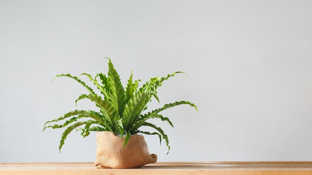Roślina doniczkowa asplenium nidus w doniczce workowej