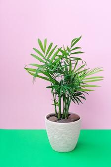 Roślina doniczkowa chamaedorea elegans na różowym tle. koncepcja roślin wewnętrznych, wystrój domu.