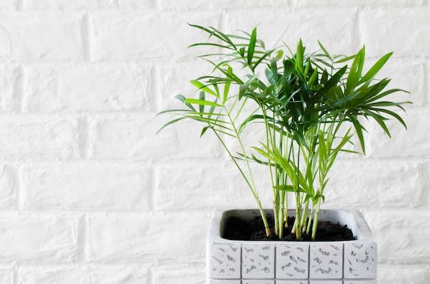 Roślina doniczkowa chamaedorea w pobliżu białej cegły