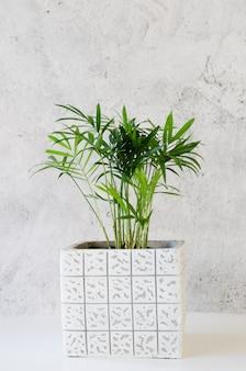 Roślina doniczkowa chamaedorea w pobliżu szarej betonowej ściany