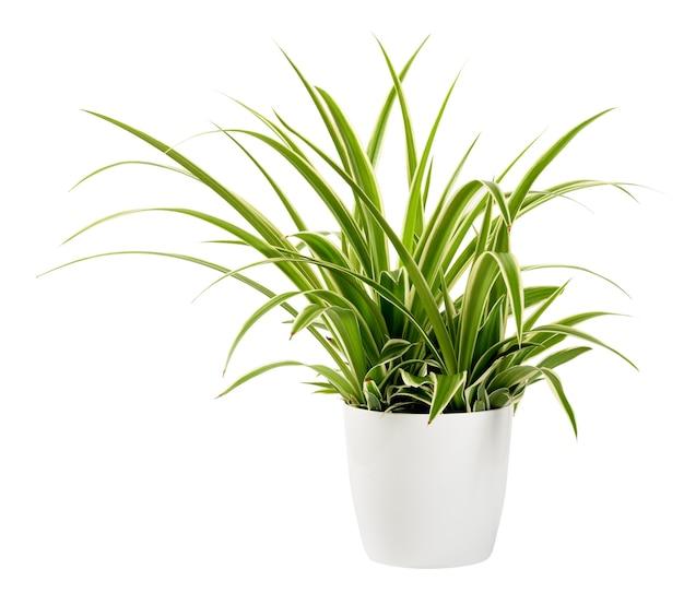 Roślina doniczkowa chlorophytum laxum na białym tle