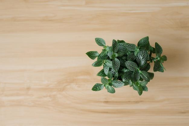 Roślina doniczkowa ciemnozielona fittonia z białymi paskami w brązowym doniczce na beżu z deskami. widok z góry. copyspace