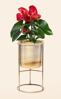 Roślina doniczkowa czerwonego anturium w mosiężnej doniczce