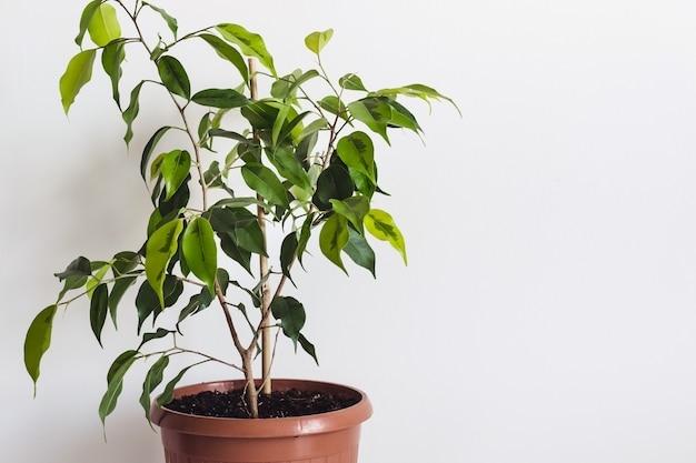 Roślina doniczkowa ficus benjamin na białej ścianie. stylizowana makieta dla szablonu tekstowego.