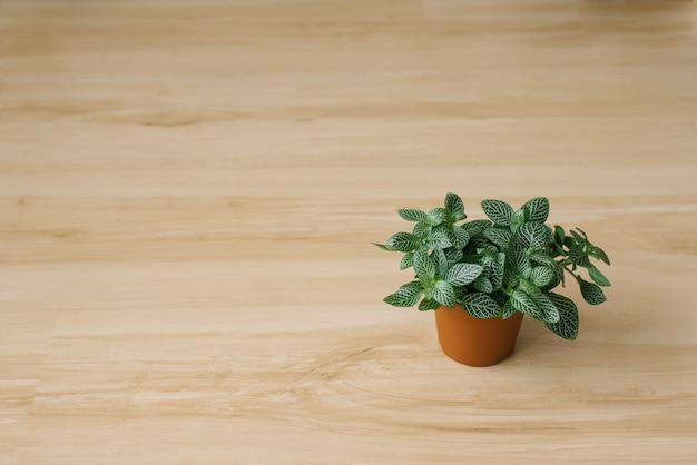 Roślina doniczkowa fittonia ciemnozielona z białymi smugami w brązowym doniczce na beżowym tle z deskami. skopiuj miejsce