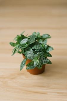 Roślina doniczkowa fittonia ciemnozielona z białymi smugami w brązowym doniczce na beżowym tle
