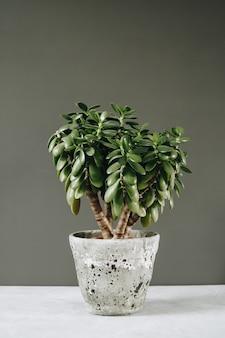 Roślina doniczkowa grubosz jaja jajo roślina pieniądze drzewo naprzeciwko ściany.