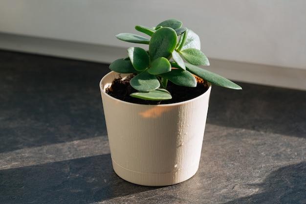 Roślina doniczkowa grubosz w doniczce liści natura tło zbliżenie na oknie koncepcja kwiaciarni