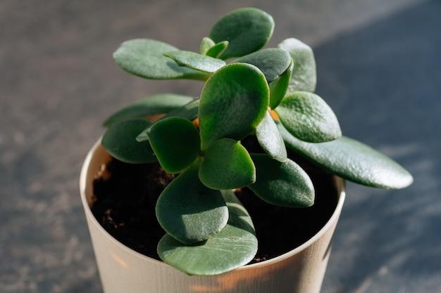 Roślina doniczkowa grubosz w doniczce liście natura tło zbliżenie na oknie