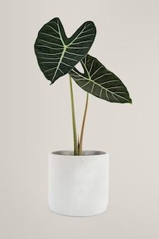 Roślina doniczkowa popularna roślina doniczkowa alocasia