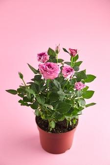 Roślina doniczkowa w doniczce, róże z płatkami różowego koloru, kwiaty wewnętrzne w doniczce na różowym tle. kwitnący krzew, roślina wewnętrzna, selektywna ostrość
