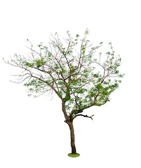 Roślina drzewo, na białym tle