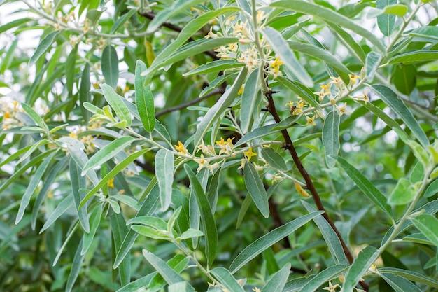 Roślina elaeagnus commutata. krzew o srebrzystych liściach i małych żółtych kwiatach.