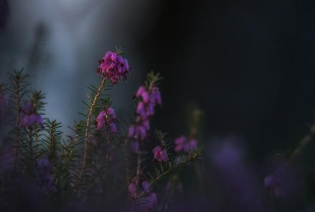 Roślina erica