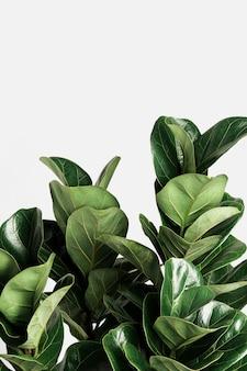 Roślina figowa o liściach skrzypcowych na złamanym białym tle