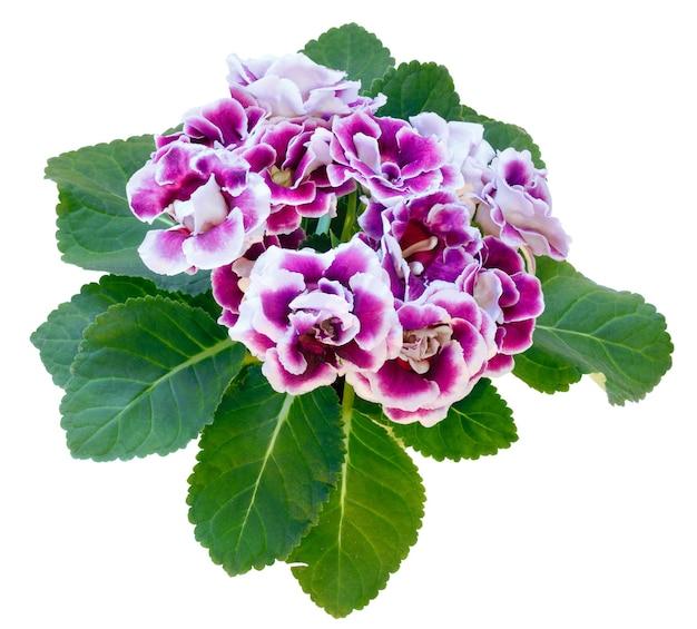 Roślina gloksynia z fioletowo-białymi kwiatami w doniczce na białym tle