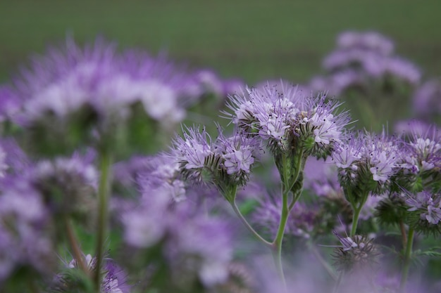 Roślina jednoroczna przyjazna zapylaczom facelia glebowa okrywowa kwiat dla pszczół nawóz zielony