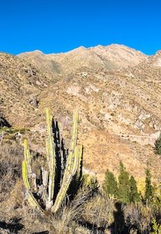 Roślina kaktusów w huambo w pobliżu kanionu colca w regionie arequipa w peru