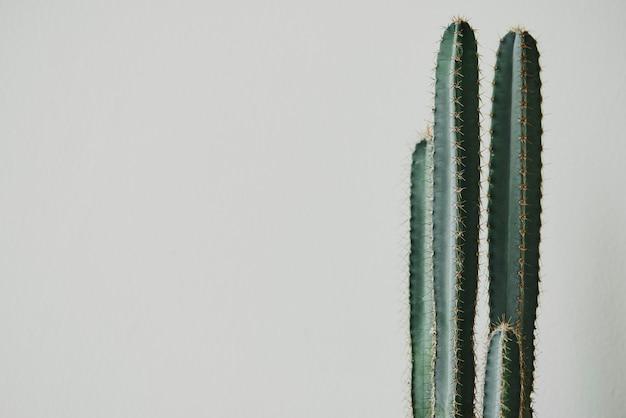 Roślina kaktusowa na jasnoszarym tle