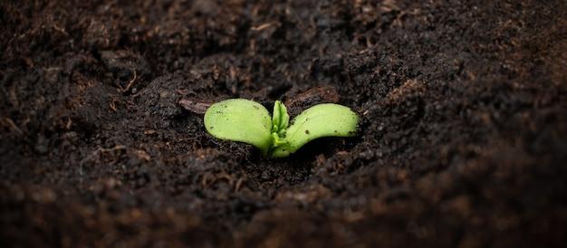 Roślina konopi produkująca mały zielony pęd marihuany z ziemią