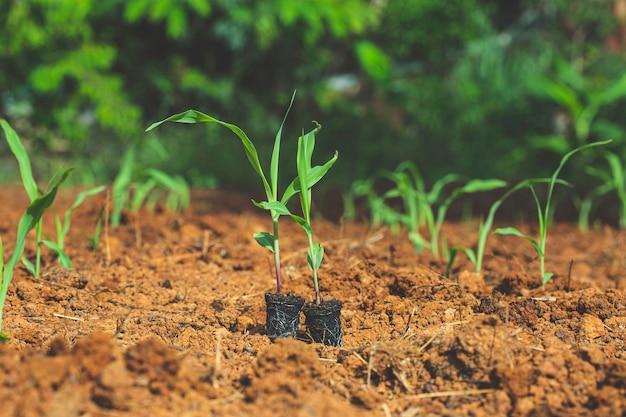 Roślina kukurydzy na kiełki rosnące w przyrodzie w porannym świetle