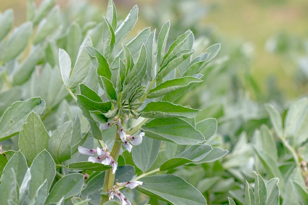 Roślina kwiatów fasoli fava.