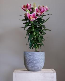 Roślina kwiatowa purple lily stargazer w srebrnej doniczce