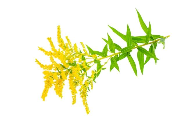 Roślina kwitnąca na żółto solidago, chwast. .