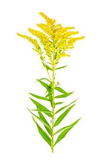 Roślina kwitnąca żółta solidago, chwast.