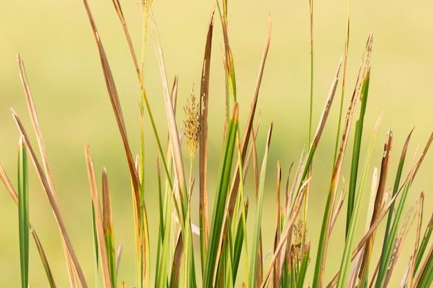 Roślina liścia papirusu