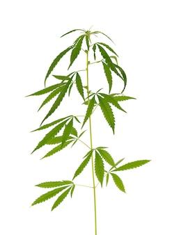 Roślina marihuany na białym tle. liść konopi z bliska. zielony liść konopi.