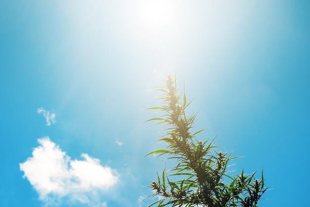 Roślina marihuany ze słońcem i błękitnym niebem w tle kwitnienia konopi na zewnątrz