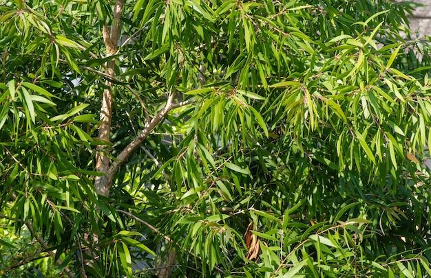 Roślina melaleuca cajuputi, powszechnie znana jako cajuput. olejek cajuput to olejek eteryczny otrzymywany przez destylację z liści drzew cajuput.