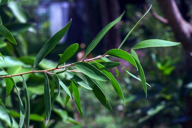 Roślina melaleuca cajuputi, powszechnie znana jako cajuput. olejek cajuput to olejek eteryczny otrzymywany przez destylację z liści drzew cajuput
