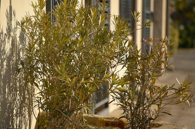 Roślina oleander stosowana jako ozdoba w klombie kondominium