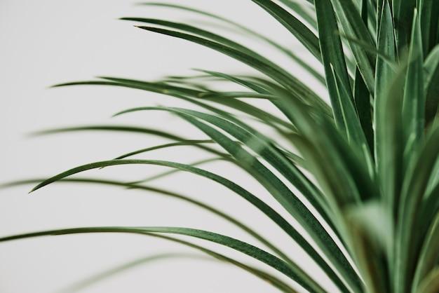 Roślina palmy agawy na szarym tle
