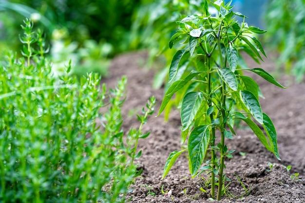 Roślina papryki w przydomowym ogrodzie