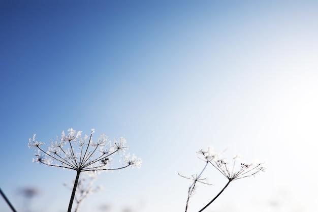 Roślina pokryta śniegiem na tle błękitnego nieba. zimowy mróz i kryształki lodu na trawie. selektywne ustawianie ostrości i płytka głębia ostrości.
