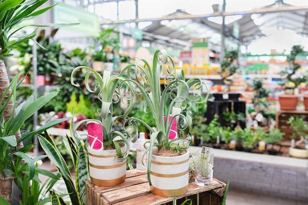 Roślina powietrzna bromelia tillandsia curly slim w sklepie