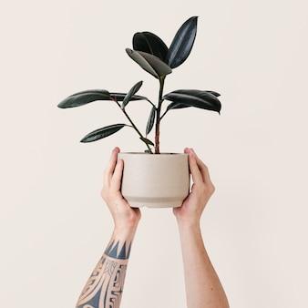 Roślina rabuś trzymana przez wytatuowaną rękę na białym tle